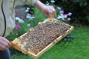 Rähmchen mit ansitzenden Bienen