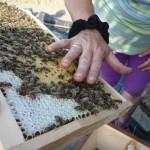 Mutprobe Bienenstreicheln