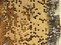 Brutwabe mit Honigeinlage am rechten Rand