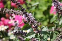 Biene auf afrikanischem Basilikum
