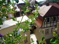 Biene als Balkongast auf der Bergminze