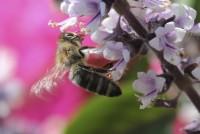 Biene an Basilikumblüte