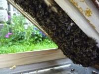 Aus der Zarge nach unten durchhängende Bienen