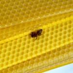 Besuch einer Biene an den Bastelwaben