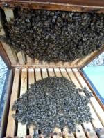 Bienen in der Traube