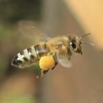 Honigbiene mit Pollenhöschen