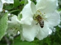 Honigbiene in einer Apfelblüte