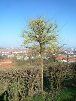 Junger Kornelkirschenbaum