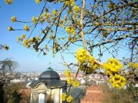 Gebe Kornelkirschenblüten
