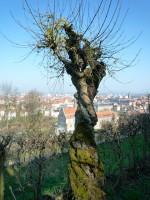 Uralter Kornelkirschenbaum
