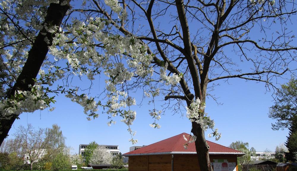 Bienen-InfoWabe zur Kirschblütenzeit
