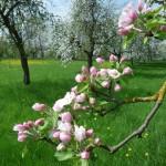 035-Apfelbluete-Fraenkische