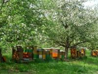 Bienenbeuten unter Obstbaumblüte