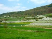 Blühende Obstplantagen bei Pretzfeld
