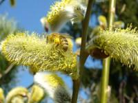 Biene auf Salweide