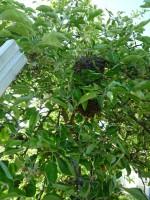 Schwarmtraube im Zwetschgenbaumgeäst