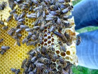 Eine Königin für Bienenpatin Felicitas Sauer