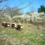 Buger Bienen vor blühender Hecke