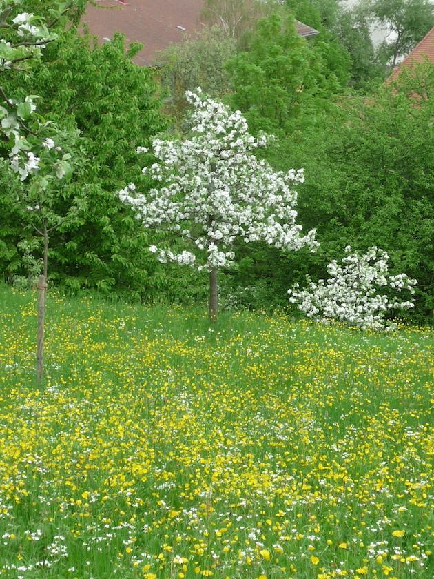 Blühender Apfelbaum auf Michelsberger Terassen Bamberg