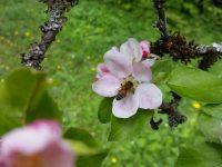 Biene an Apfelbluete