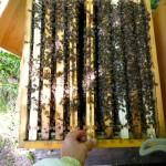 Zarge, gefüllt mit 10 Rähmchen und ansitzenden Bienen