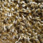Die Bienenkönigin inmitten ihres Volkes