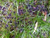 Tote schwarze Bienen im Gras