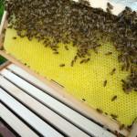 Unverdeckelte Honigwabe