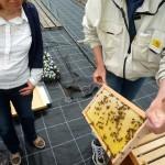 Honigwabe (unverdeckelt) mit Bienen