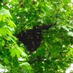 Bienenscharmtraube auf Ahornast