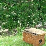 Bienenschwarm lässt sich in den Schwarmfangkasten locken