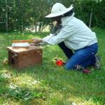 Einkehren der außerhalb des Schwarmfangkasten ansitzenden Bienen