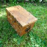 Außerhalb des Schwarmfangkastens noch ansitzende Bienen