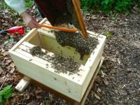 Restliche Bienen aus Schwarmfangkasten in Zarge einkehren