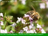 Biene auf Thymian