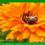 Biene in Calendulablüte