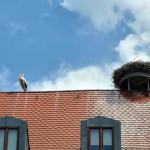 Storchenjunges auf Dach in Burgebrach
