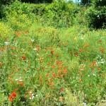 Mohn- und Kornblumenwiese bei Wildensorg