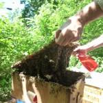 Bienenschwarm im Fangkasten wird vor dem Umschütten mit Wasser eingesprüht