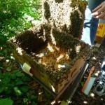 Blick in den Schwarmfangkasten auf ansitzende Bienen