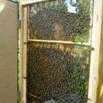 Bienenschaufenster im Aromagarten Erlangen (Innenansicht mit Bienen)