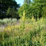 Blühendes im Aromagarten Erlangen