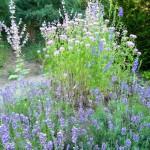 Blaublühendes mit Lavendel