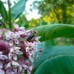 Biene an Seidenpflanze