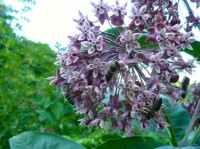 viele Bienen an einer Seidenpflanze