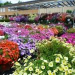 Bunte Balkon- und Hängeampelpflanzen