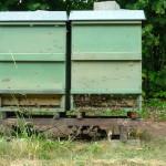 Zwei Bienenvölker