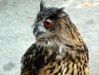 Uhu im Profil aus der Greifvogelschau (Greifvogelpflegestation Stettfeld)