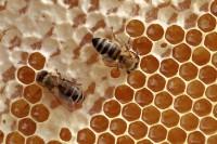 Bienen nehmen Honig aus Waben auf / Foto © Elke Puchtler