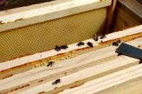 Blick in Beute auf kranke Bienen